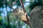 Koala Metal Prints - Baby Koala Bear Metal Print by Himani - Printscapes