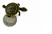 Coin Prints - Baby Kreffts River Turtle Beside Coin, On White Print by Danielle Kiemel