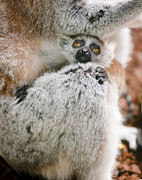 Baby Lemur Print by Andrew  Michael