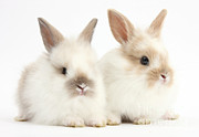 Lop Prints - Baby Lionhead-lop Bunnies Print by Mark Taylor