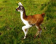 Xueling Zou - Baby Llama
