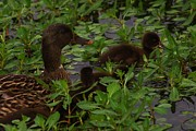 Baby Mallards Photos - Baby Mallards by Billy  Griffis Jr