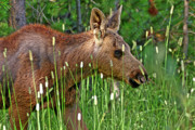 Moose Photos - Baby Moose by Scott Mahon