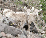 Famouse Framed Prints - Baby Mountain Goats Framed Print by Justin  Hill