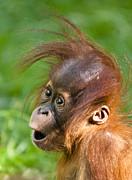 Baby Orangutan Print by Andrew  Michael