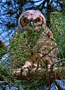 Paul Marto - Baby Owl
