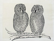 Owls Drawings - Baby owls standing by Carol Nistle