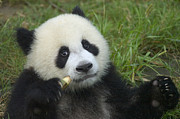 Panda Bears Photos - Baby Panda by Craig Lovell