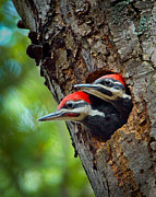 Pileated Woodpeckers Photos - Baby Pileated Woodpeckers by Leonora Bridges
