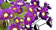 Flower Still Life Prints Digital Art Prints - Baby Purple Daisies Print by Marsha Heiken