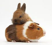 House Pets Posters - Baby Rabbit And Guinea Pig Poster by Mark Taylor