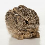 Baby Animals Photos - Baby Rabbit Cleaning Himself by Leah Hammond