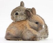 Domesticated Animal Framed Prints - Baby Rabbits Framed Print by Mark Taylor