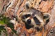 Raccoon Photo Posters - Baby Raccoon Poster by William Jobes