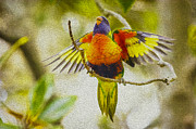 Baby Bird Posters - Baby rainbow lorikeet Poster by Sheila Smart