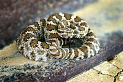 Rattle Snake Framed Prints - Baby Rattle Framed Print by Anthony Jones