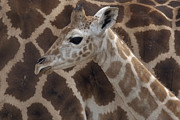 Young Giraffe Photos - Baby Rothschild Giraffe  by Zssd