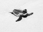 Lillie Wilde Acrylic Prints - Baby Sea Turtle  Acrylic Print by Lillie Wilde