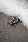 Julie Bostian - Baby Sea Turtle Meets...