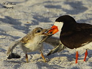 Black Skimmer Prints - Baby Skimmer Feeding Print by Barbara Bowen