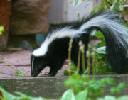 Thrive Framed Prints - Baby Skunk Framed Print by Crystal Garner