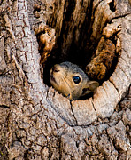 Sciurus Niger Prints - Baby Squirrel in Nest Print by Betty LaRue