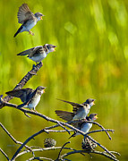 Forerst Posters - Baby Tree Swallows Feeding #1 Poster by John Stoj