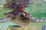 Fishing Photos - Baby turtle by Carey Chen