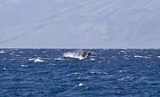 Baby Whale Breach Print by Chris Ann Wiggins