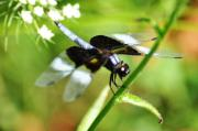 Macro Photographs Prints - Back in Black - Black Dragonfly Print by Bill Cannon
