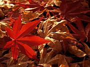 Red Leaves Photo Originals - Back-lit Japanese Maple Leaf on Dried Leaves by Anna Lisa Yoder