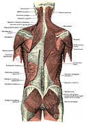 Labeled Posters - Back Muscles Poster by Science Source