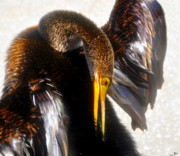 Anhinga Prints - Back Scratcher Print by David Lee Thompson