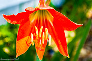 Tiger Lillies Photos - Back Yard Flowers by Shannon Harrington