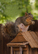 Sciurus Niger Prints - Back Yard Pet Print by Robert Bales