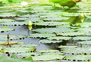 Nympheas Prints - Background of pool with waterlilly Print by Anek Suwannaphoom