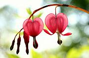 Steve Augustin Prints - Backlight Bleeding Hearts Print by Steve Augustin
