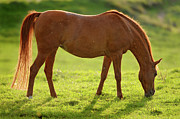 Grazing Horse Posters - Backlight Brown Horse Poster by Picture by Tambako the Jaguar