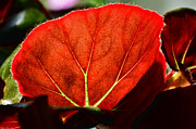 Backlit Leaf Prints - Backlit Begonia leaf Print by Debbie Portwood