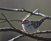 Backlit Prints Framed Prints - Backlit Chipping Sparrow Framed Print by Susan Capuano