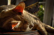 Cat Art - Backlit Ears by David Patterson