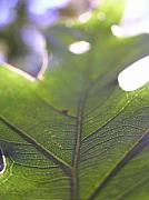 Backlit Prints - Backlit Leaf Print by Dustin K Ryan