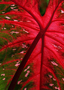 Backlit Prints - Backlit Red Leaf Print by Sabrina L Ryan