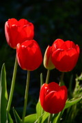 Backlit Tulip Photos - Backlit Red Tulips by Byron Varvarigos