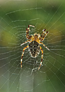 Black Top Posters - Backlit Spider Poster by Michael Peychich