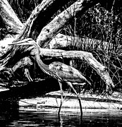 Great Blue Heron Black And White Posters - Backwaters Poster by Christy Usilton