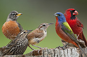 Songbirds Prints - Backyard Buddies Print by Bonnie Barry