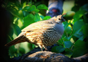 Backyard Garden Posters - Backyard Garden Series - Quail in a Pear Tree Poster by Carol Groenen