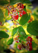 Backyard Garden Posters - Backyard Garden Series - Sunlight on Raspberries Poster by Carol Groenen