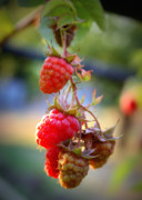 Backyard Garden Posters - Backyard Garden Series - The Freshest Raspberries Poster by Carol Groenen